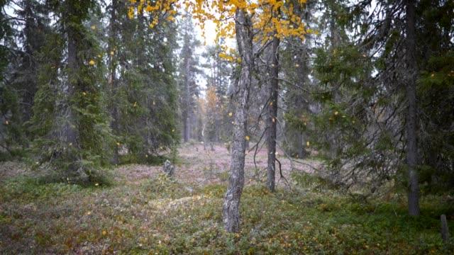 vídeos de stock, filmes e b-roll de conceito finlandês do outono de lapland. floresta do outono com folhas e neve alaranjadas de queda do outono. tiro do movimento lento - bétula