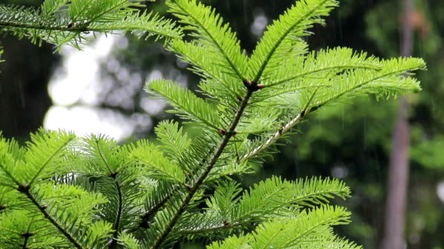 fir branch in the rain video