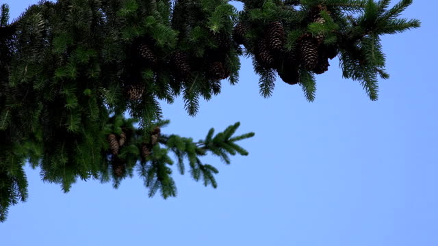 fir branch with cones swings in wind on blue sky background. FullHD video