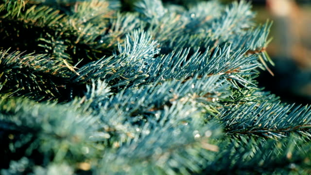 tanne äste blaufichten. - christmas tree stock-videos und b-roll-filmmaterial