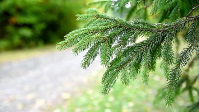Fir Christmas Tree Branch video