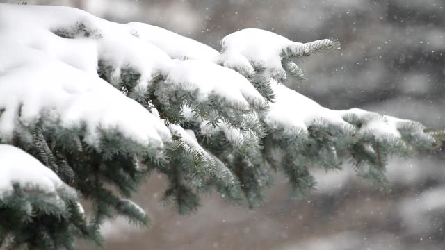 Fir tree and falling snow