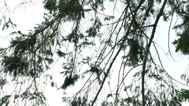 Fir Tree Bird Box video