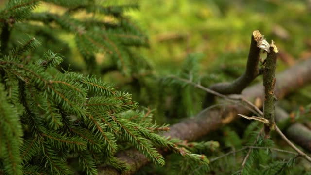 fir tree branch macro shot in sunny spring forest - jodła filmów i materiałów b-roll