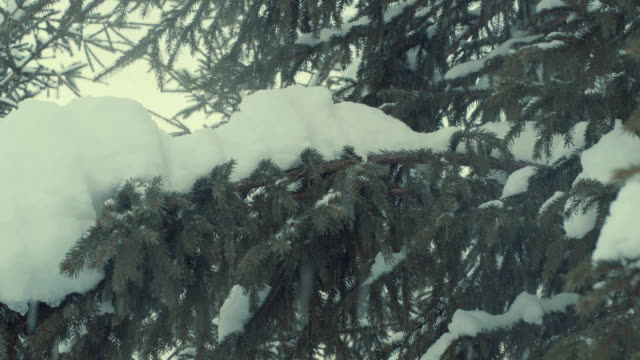 Fir tree in the snow, snowfall. video