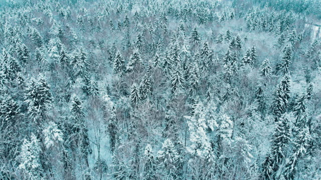 Fir Trees Covered by Snow in the Winter Forest, Moscow