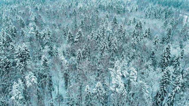 vídeos y material grabado en eventos de stock de abetos cubiertos por la nieve en el bosque de invierno, moscú - rusia