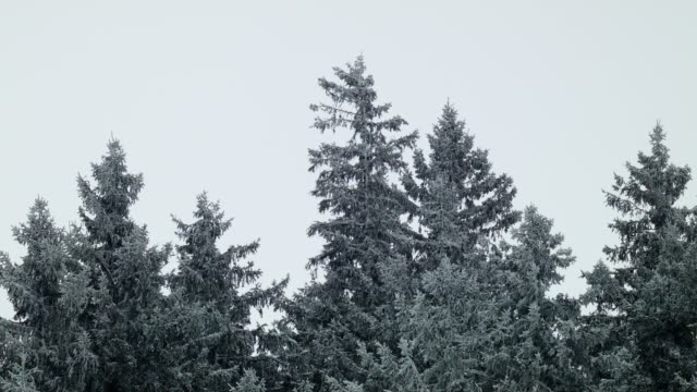 Fir trees in a blizzard video