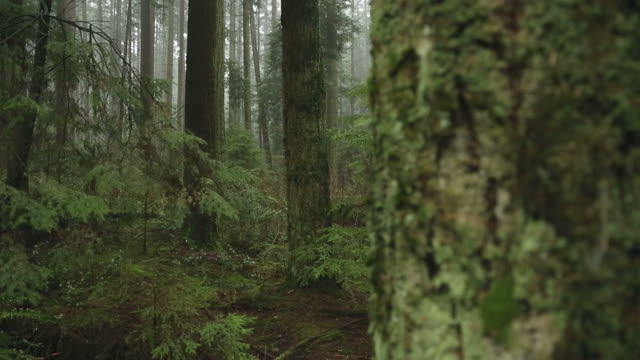 Fir Trees, Pacific Northwest Forest video