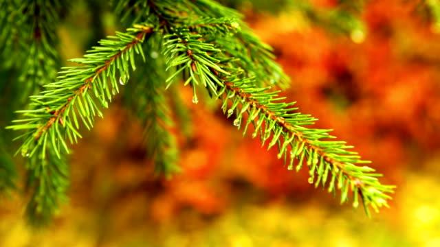 Fir with autumn background video