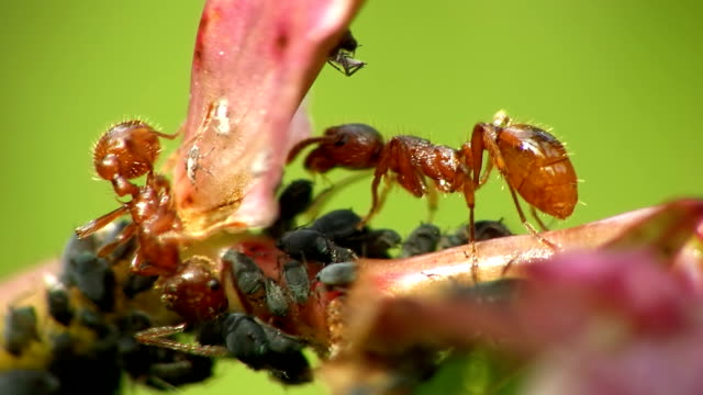 HD MACRO: Fire Ants And Leaf Louses video