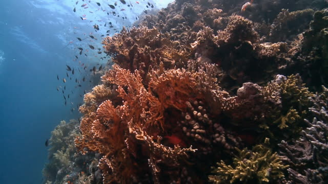 Fire coral red sea slow motion drifting shot of fire coral on red sea reef with shoal of fish, blue, reef edge and sunlight coral cnidarian stock videos & royalty-free footage