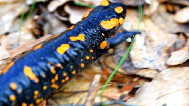 Fire salamander in the forest