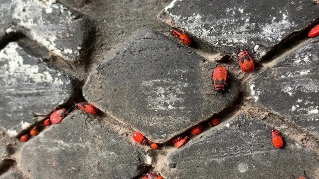 Firebugs settled in the gaps between the treads of the old tire (Pyrrhocoris apterus) video