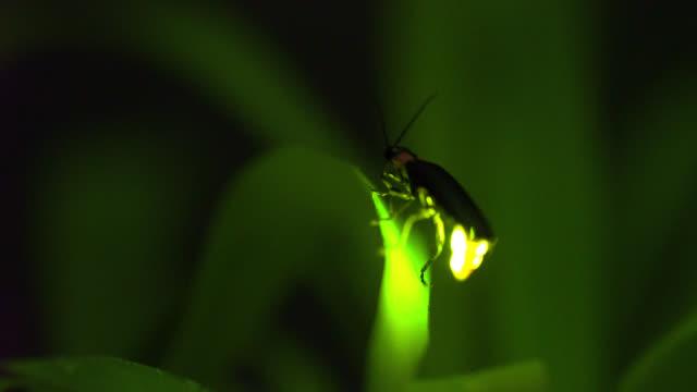vídeos y material grabado en eventos de stock de luciérnaga - organismo vivo