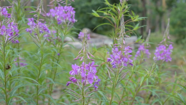 Fireweed flowers in a forest. Chamerion angustifolium video