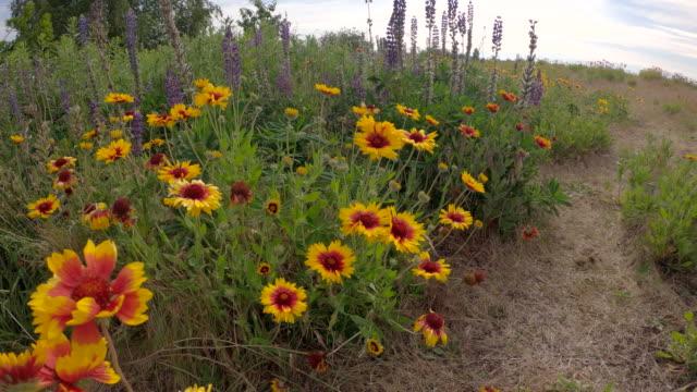 Firewheel Wildflowers gimbal shot 4K UHD