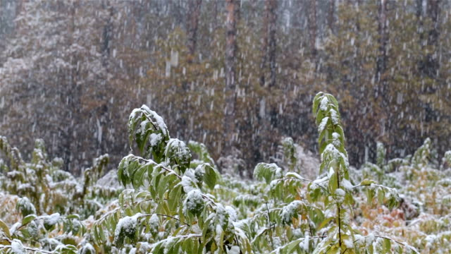 First snow in the forest. Young trees are covered with snow. video