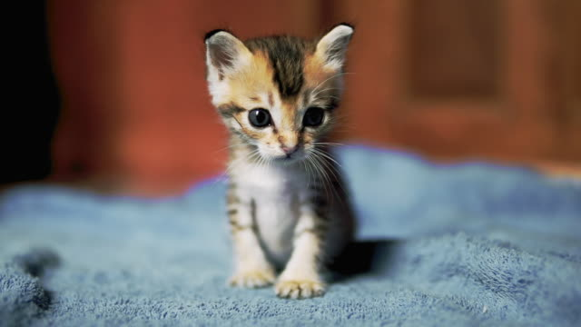 first steps of cute newborn orphaned kitten - gattino video stock e b–roll