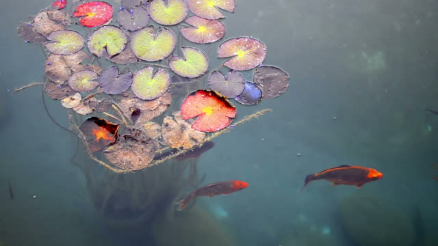 Fish and Giant Lily Pads video