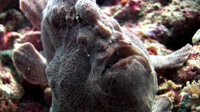 fish angler closeup macro video underwater on seabed in maldives. - żabnicokształtne filmów i materiałów b-roll