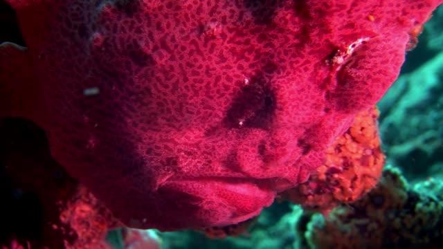 fish angler red closeup macro video underwater on seabed in maldives. - żabnicokształtne filmów i materiałów b-roll