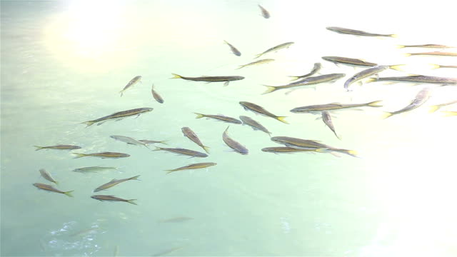 vídeos de stock e filmes b-roll de hd :  peixe na água. - bacalhau