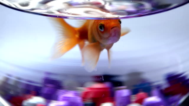 Fish bowl with swimming gold fish video