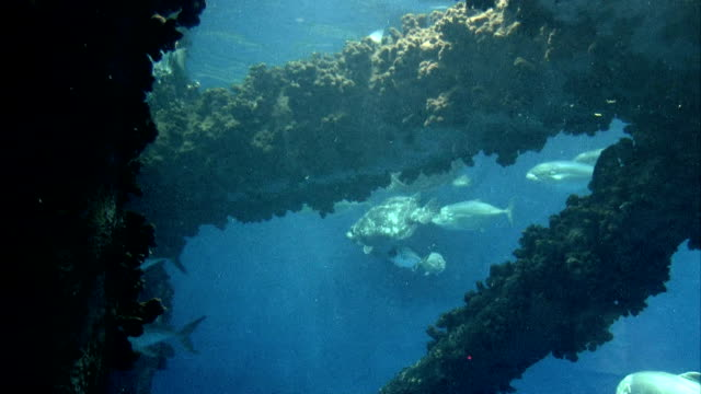 Fish by oil platform Video of various and different ocean fish swimming around legs and structure of an oil platform in the Gulf of Mexico. Crustaceans and seaweeds on steel parts. Sea turtle and shark swim by. Don Despain of Rekindle Photo sea life stock videos & royalty-free footage
