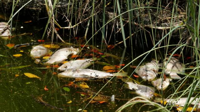 stockvideo's en b-roll-footage met vissen dood, impact vorm lozing van giftige stoffen uit fabrieken in de rivier, - dood dier