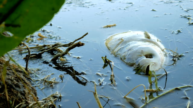 Fish dead killed from polluted water in lake video
