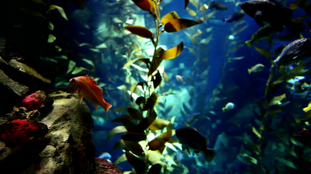 Fish drift through kelp in Pacific Kelp Forest video