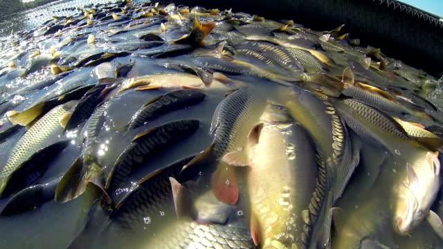 gospodarstwo rybne - karp filmów i materiałów b-roll