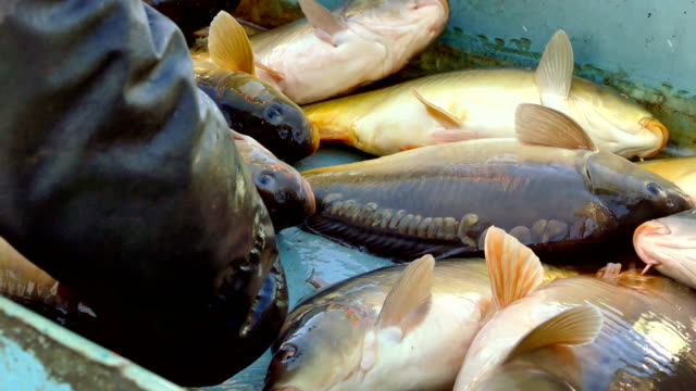 Fish Farming-Carps in the Fishpond video