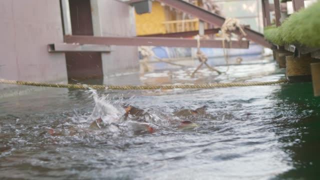stockvideo's en b-roll-footage met vis voeding close-up - carp
