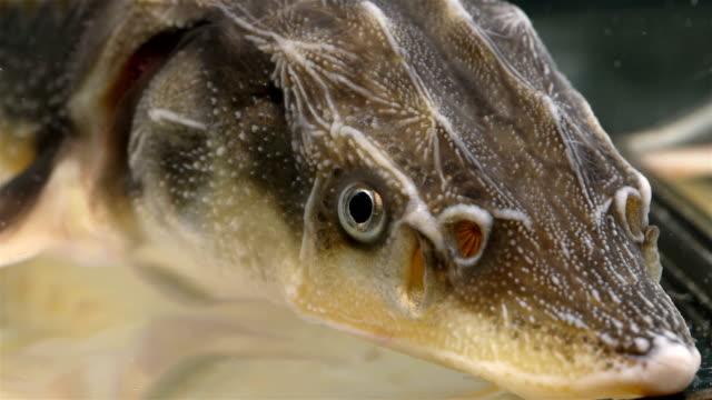 fisch kopf, stör familie, nahaufnahme - laichen stock-videos und b-roll-filmmaterial