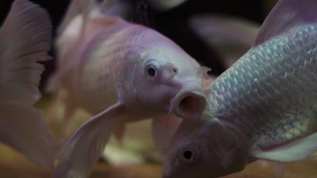 fisk i akvarium - iktyologi bildbanksvideor och videomaterial från bakom kulisserna