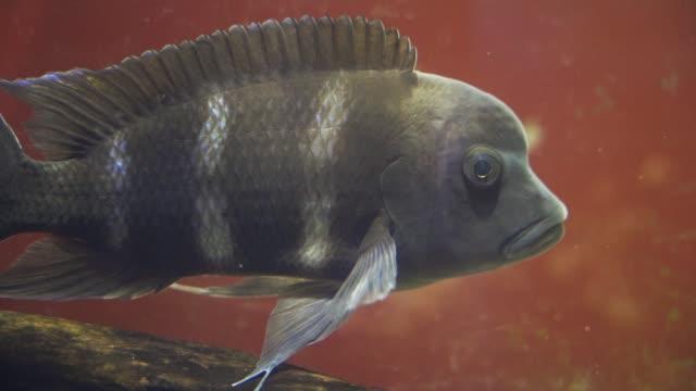 fische im aquarium - ichthyologie stock-videos und b-roll-filmmaterial