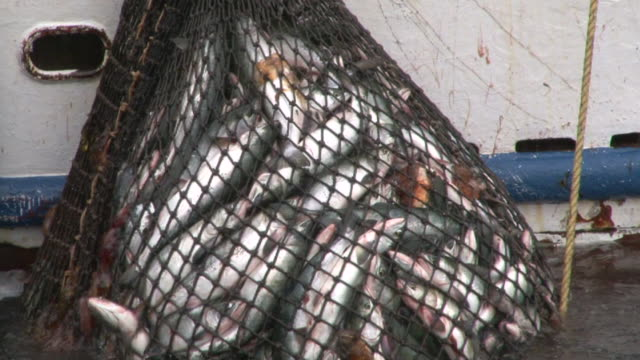 Fish in Net video