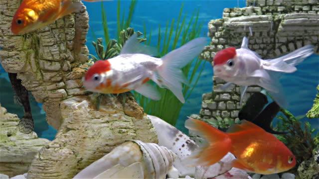 fisk i akvariet – guldfisk, svart teleskop guldfisk - akvarium byggnad för djur i fångenskap bildbanksvideor och videomaterial från bakom kulisserna