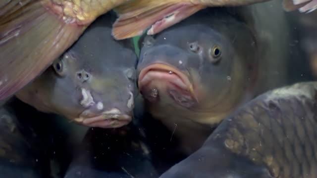 stockvideo's en b-roll-footage met vis in de aquarium winkel op de vismarkt - carp