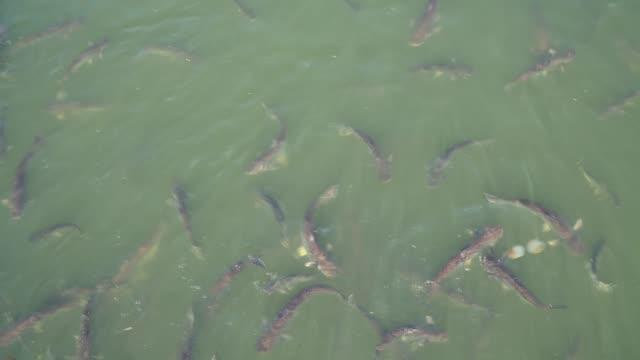 pesci nel fiume, tecnica di zoom indietro - acqua dolce video stock e b–roll