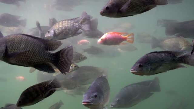 stockvideo's en b-roll-footage met vissen in het water - carp