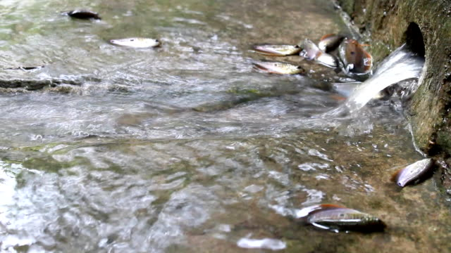 Fish in water video