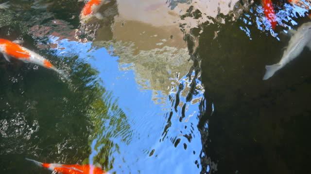 fish koi - spoiler filmów i materiałów b-roll
