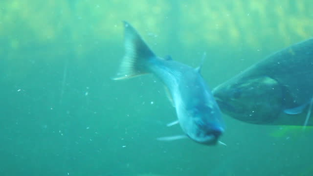 Fish Ladder Salmon Underwater video