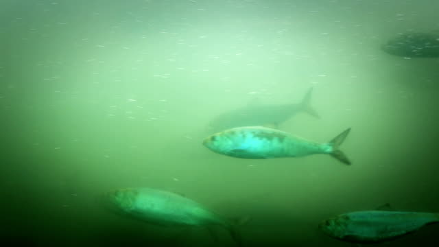 Fish Ladder Underwater v13. Shad swimming through fish ladder. Shot with 5DMKIII with 70-200 MKII lens. freshwater stock videos & royalty-free footage