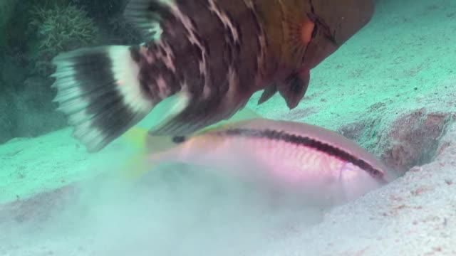 ein fisch, der im sand nistet. - laichen stock-videos und b-roll-filmmaterial