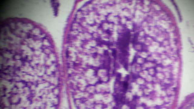 ovarium balık mikroskopi kesit - dişçi stok videoları ve detay görüntü çekimi