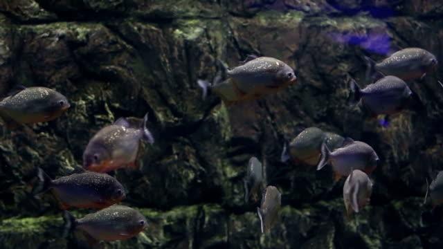 Fish piranha video